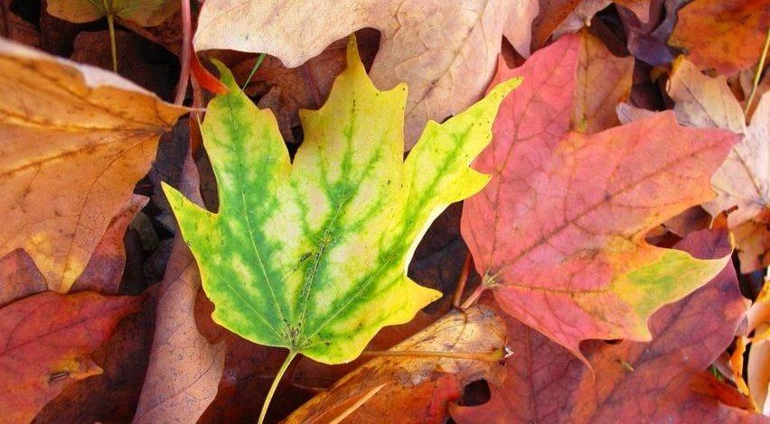Imágenes de hojas de colores rojizos en el suelo